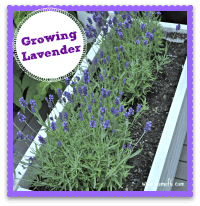 Growing Lavender {Spring Flowers Dreaming….}