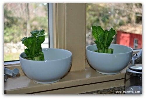 Backyard Garden- starting lettuce