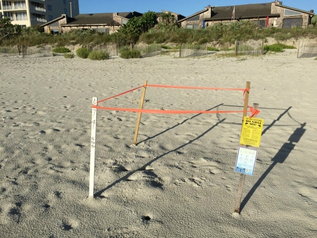 Things to Do in New Smyrna Beach: look for baby sea turtles!