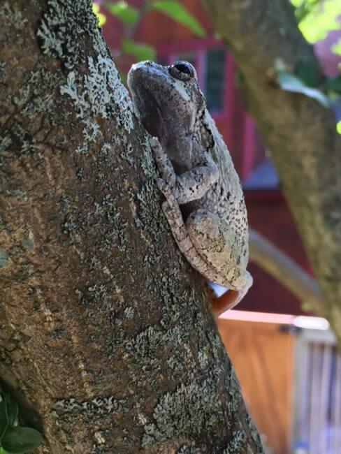 tree frog on tree1
