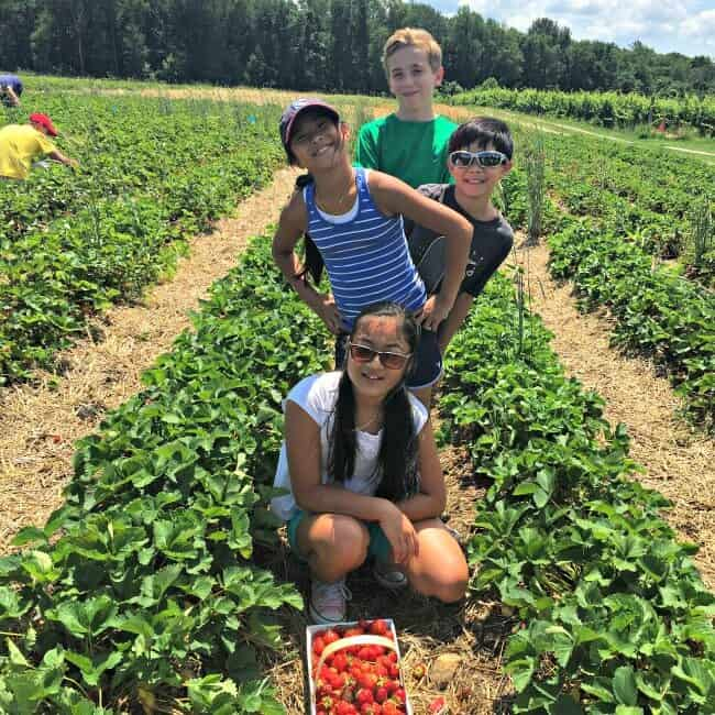 Strawberry Picking1