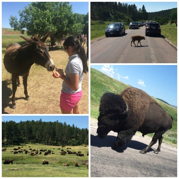 There are so many great things to do in South Dakota with kids! We took a family road trip to the Black Hills area to see Custer State Park, the Badlands, Mount Rushmore, Crazy Horse, Wall Drug, Devils' Tour, Spearfish Canyon and more! An amazing family vacation!